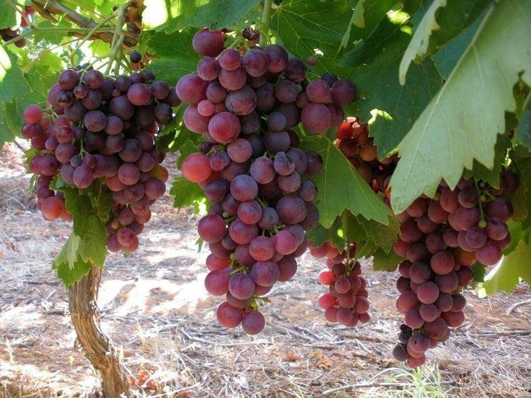 Grappoli uva vino