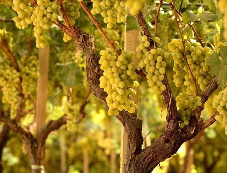 Grappoli ''uva regina''