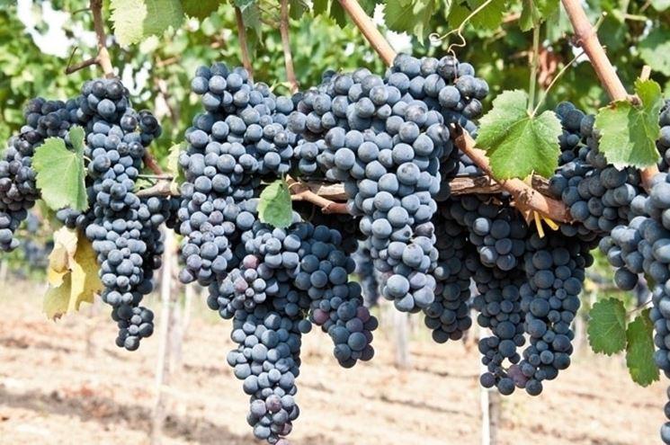 Uva americana uva caratteristiche dell 39 uva americana - Potatura vite uva da tavola ...