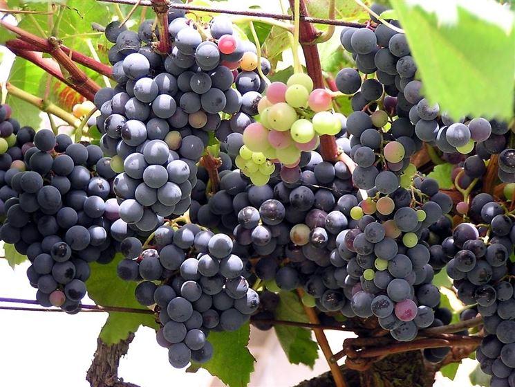 Vite con uva americana