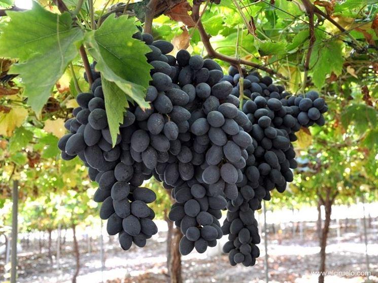 uva apirene nera