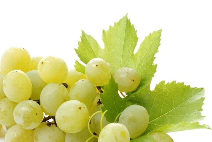 grappolo uva bianca