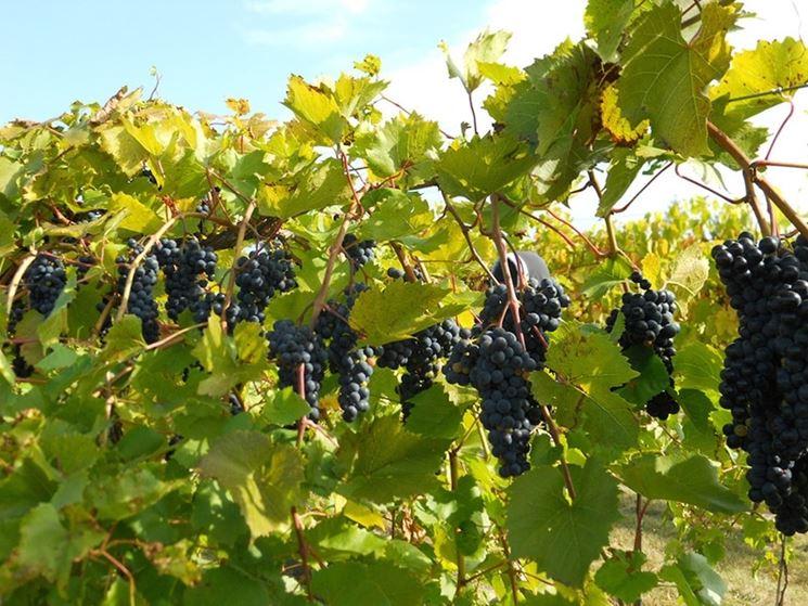 coltivazione vitivinicola