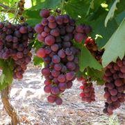 Grappoli di uva cardinal pronti per la raccolta