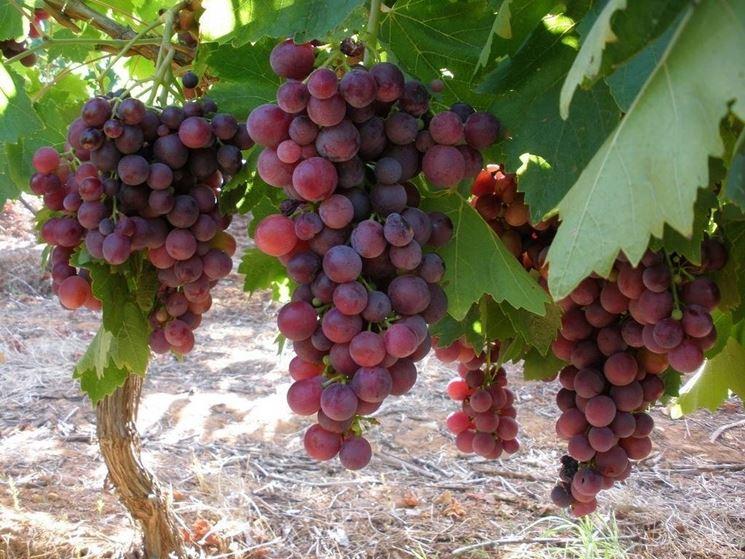 Grappoli di <strong>uva cardinal</strong> pronti per la raccolta