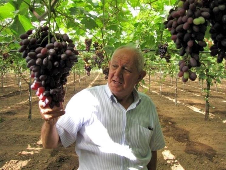 Grappoli di uva cardinal