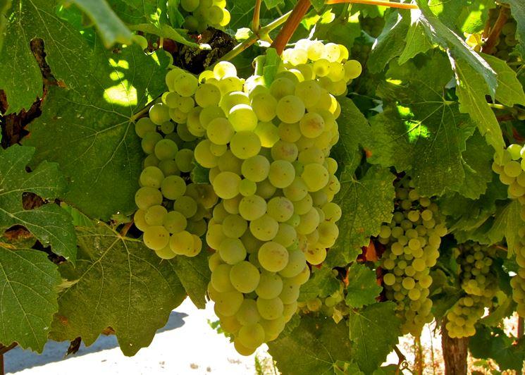 Bellissimo grappolo di uva Chardonnay