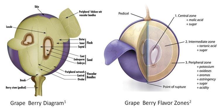Sezione di un chicco d'uva