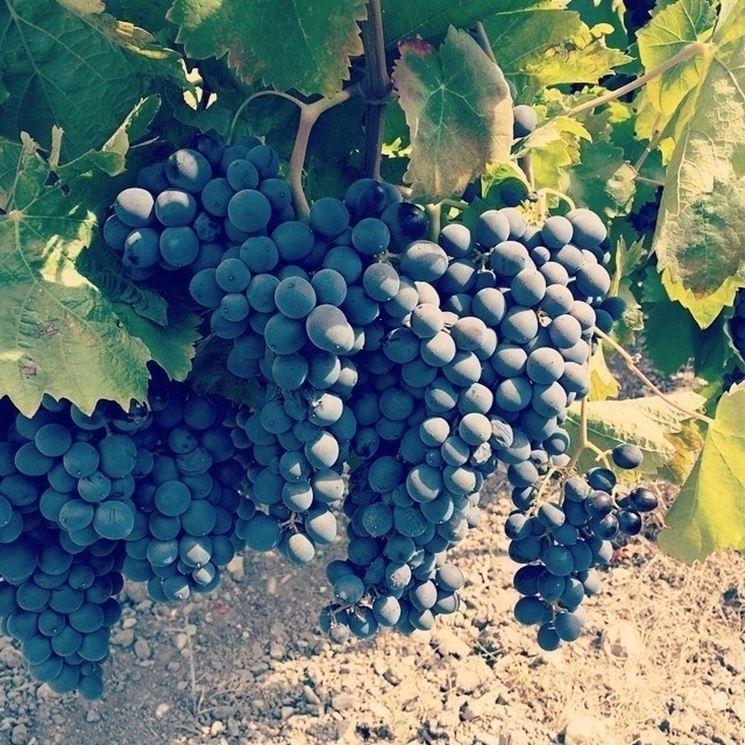 Grappoli d'uva Nero d'Avola (Sicilia)