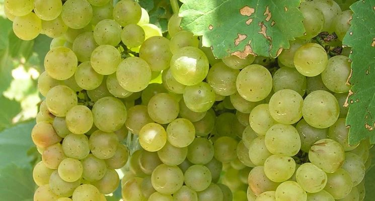 Pianta di uva fragola