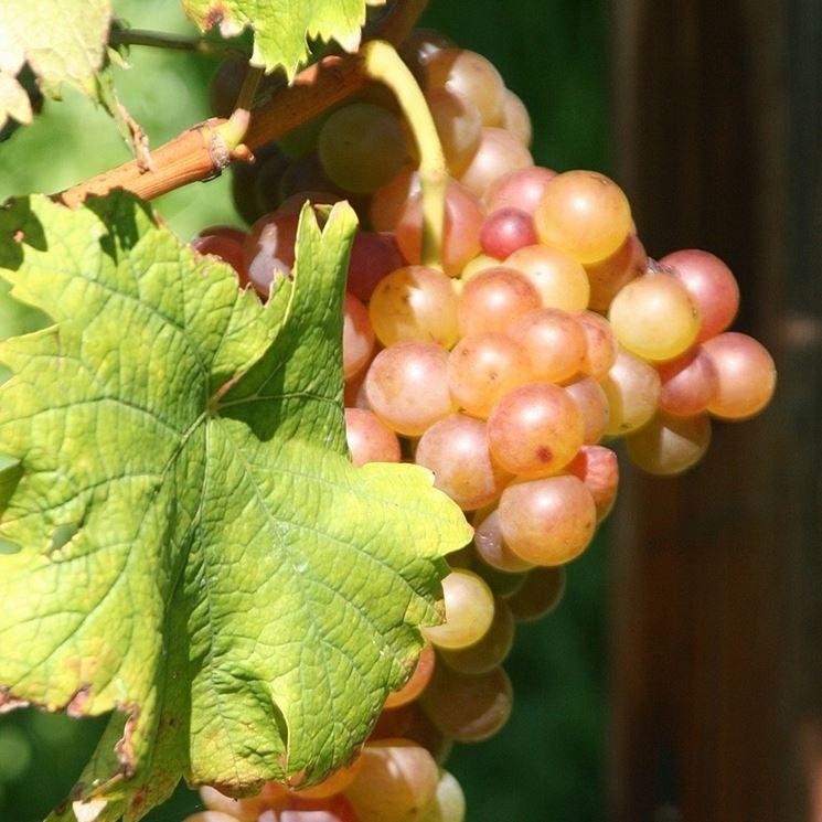Grappolo di uva fragola