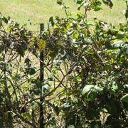 Esemplare di vite di uva fragola