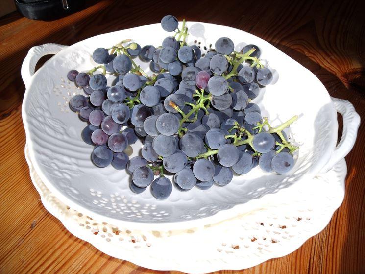 Uva fragola raccolta dalla pianta