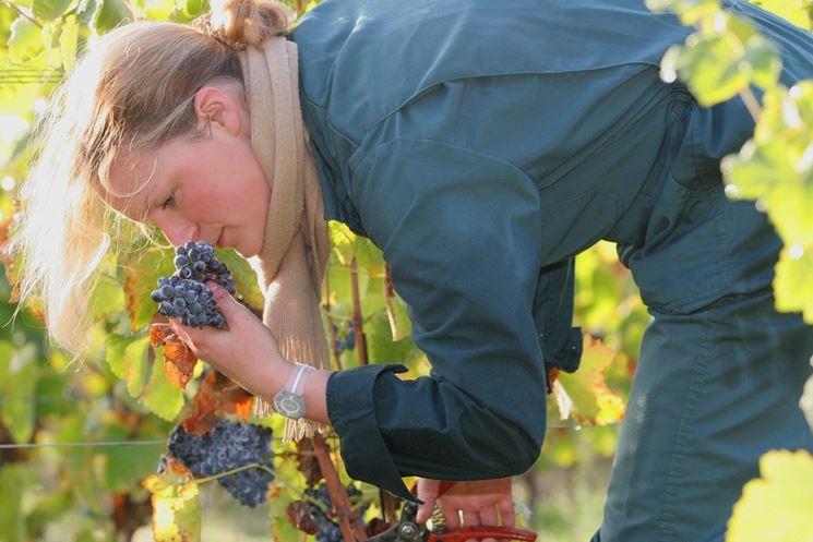 l'odore dell'uva francese