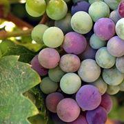 uva in francese