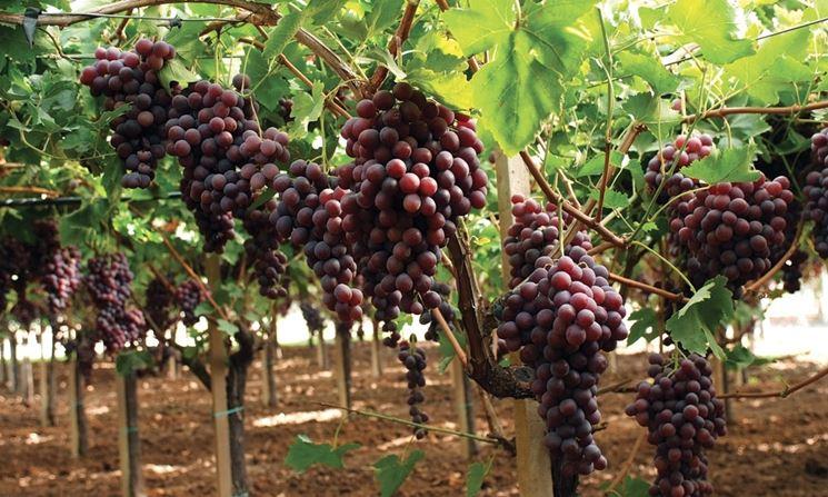 Grappoli di Uva Mazzarrone variet� nera