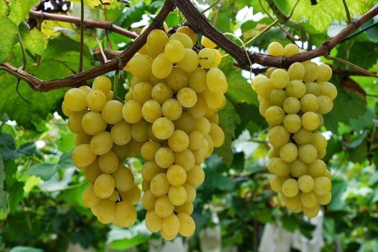 uva Moscato grappoli