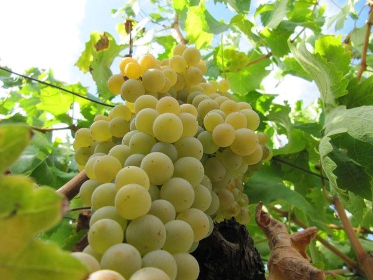 grappolo uva Moscato