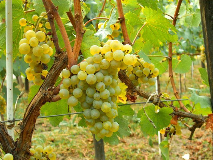 uva Moscato su pianta