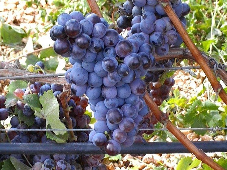 Esempio di uva nera