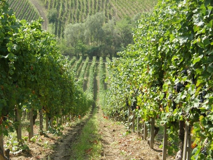Esempio di vitigno curato