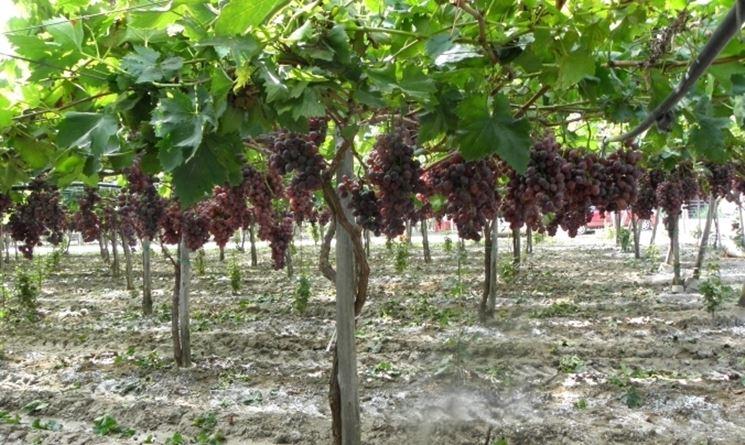 Vitigno di uva nera