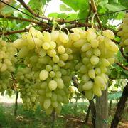 Grappoli di uva pizzutella bianca