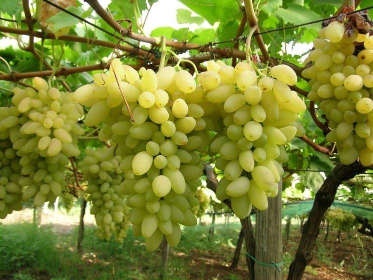 Uva pizzutella uva caratteristiche dell 39 uva pizzutella - Vivai uva da tavola ...