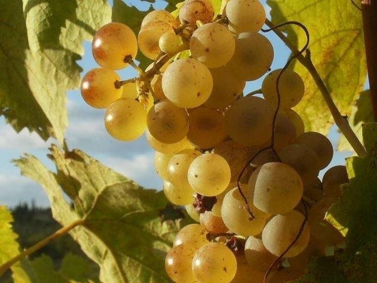 Grappoli di uva Regina
