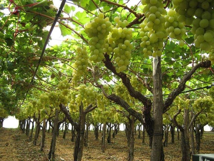 Vigna di uva Regina bianca