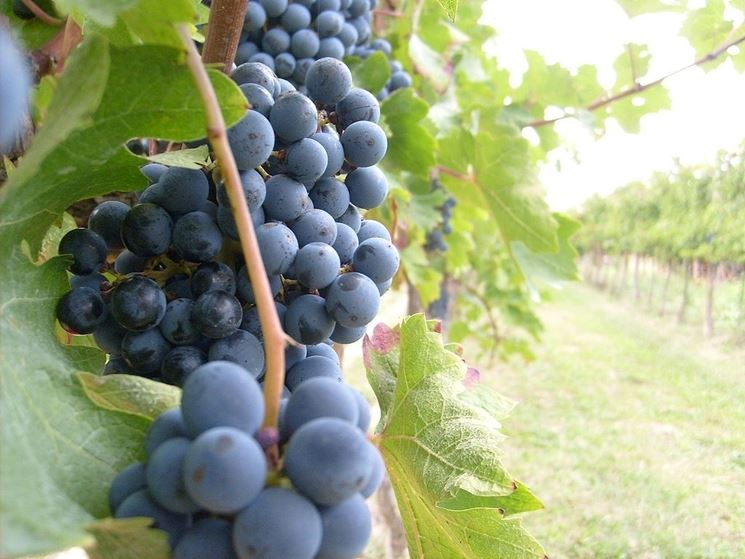 Grappoli di <strong>uva rossa</strong> matura