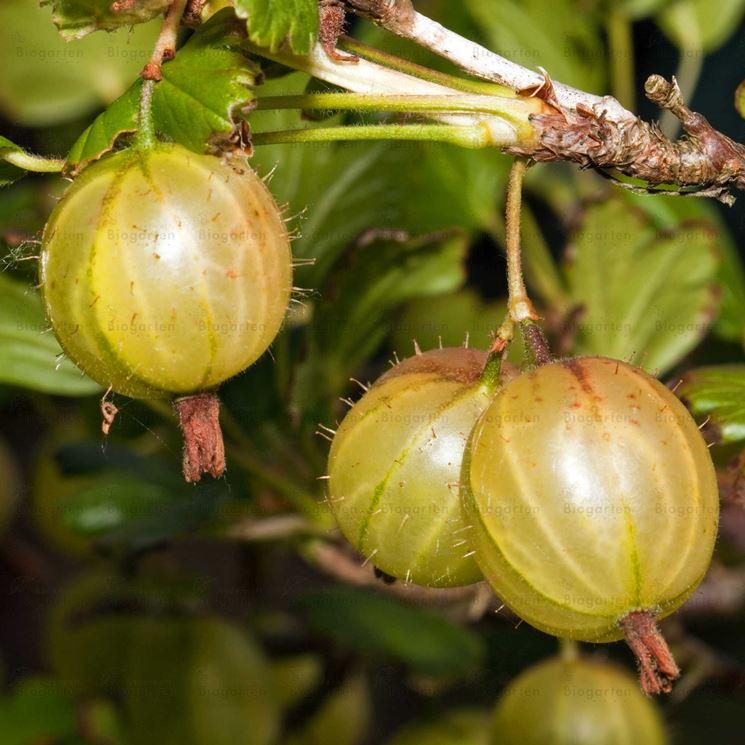 Uva spina frutto