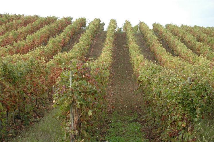 Vigneto d'uva da vino