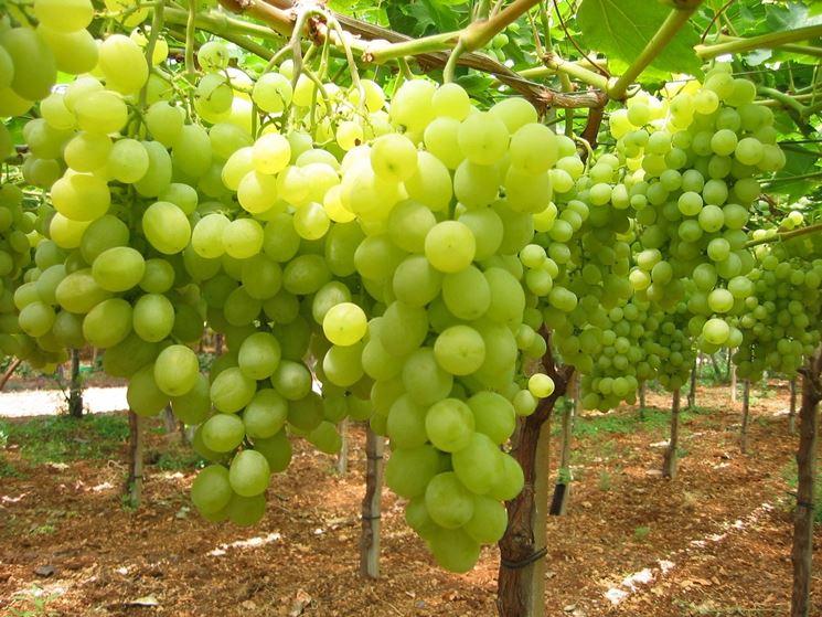 Un vigneto di uva Vittoria