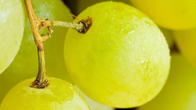 Particolare degli acini dell'uva Vittoria