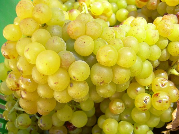 Grappoli di uva Zibibbo