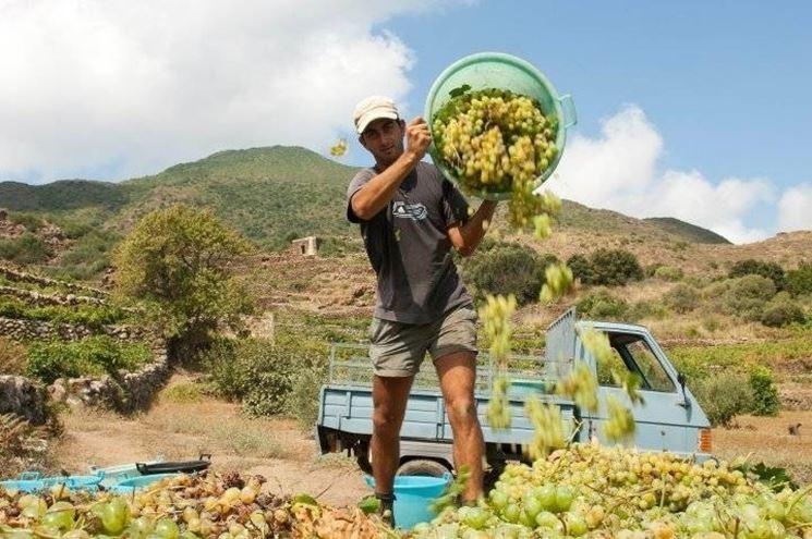 Vendemmia di uva Zibibbo