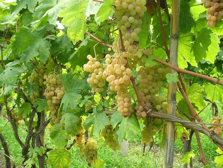 Uva zibibbo uva uva zibibbo caratteristiche - Uva da tavola precoce ...