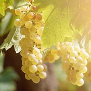 Varietà di uva baresana