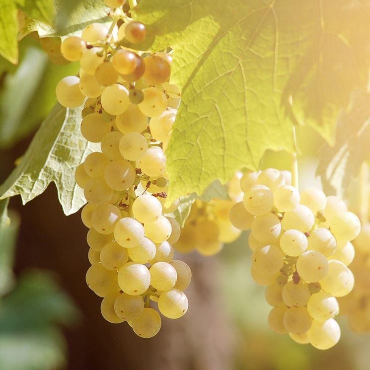 Variet� di uva baresana