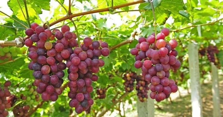 Varietà di uva Cardinal