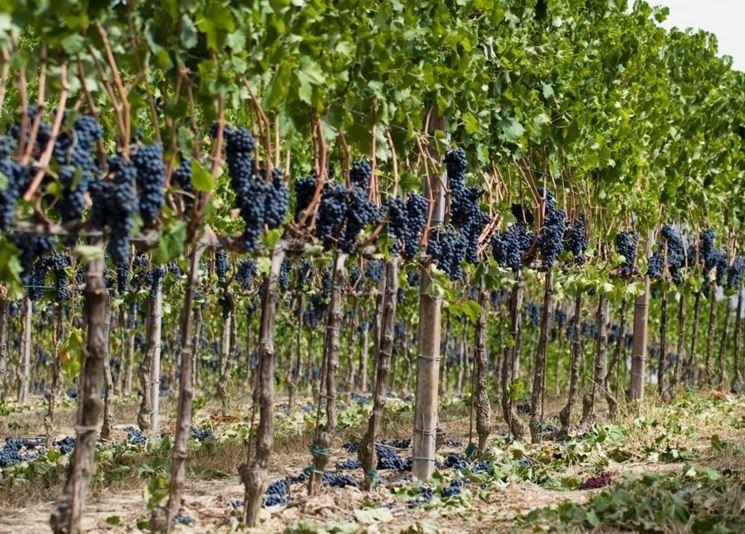 Grappoli d'uva nera su vigna a schieraFoto dal sito: https://consulenzaenologica.wordpress.com/
