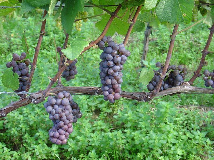 Grappoli di uva nera ''Red Globe''Foto dal sito: http://www.pinot.it/