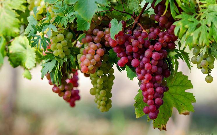 Grappoli di uva nera ''Merlot''Foto dal sito: Wikipedia