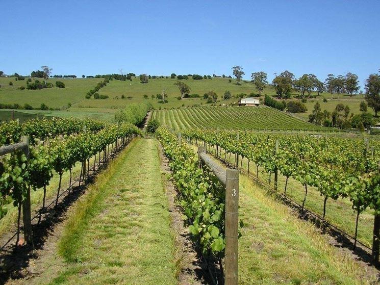 Dei filari di uva da vinoFoto dal sito: http://www.vinook.it/index.asp