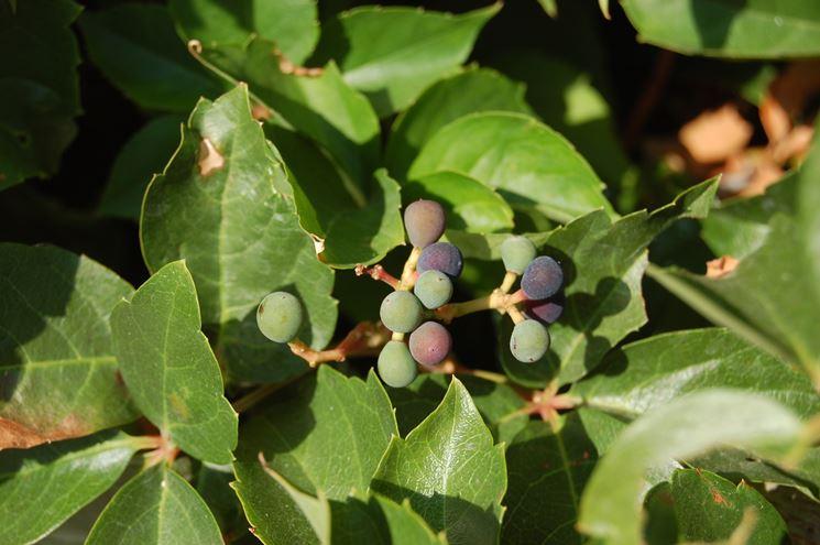 Vite americana uva
