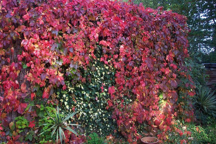 Vite americana autunno