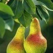 pero albero da frutto