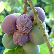 Malattie delle drupaceae