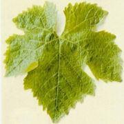 foglie della vite